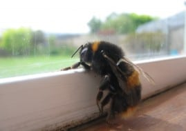 abejas que detectan la diabetes